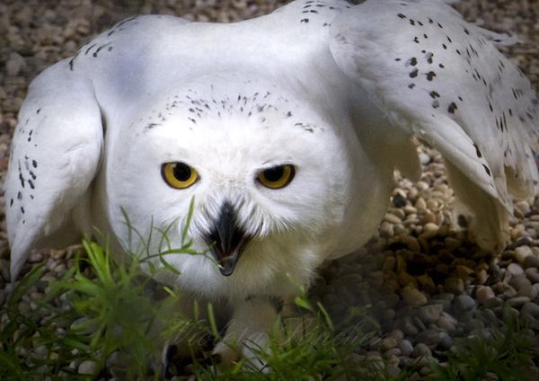 Snowy owl, Rancho Texas Lanzarote