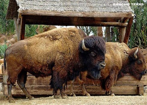 Bisonte - Rancho Texas - Lanzarote Park-min