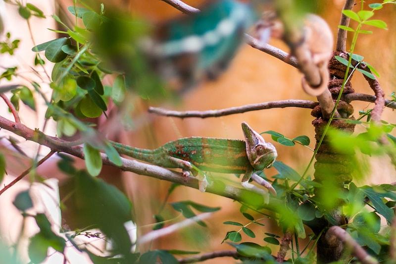 Camaleon del Yemen | Rancho Texas Lanzarote Park
