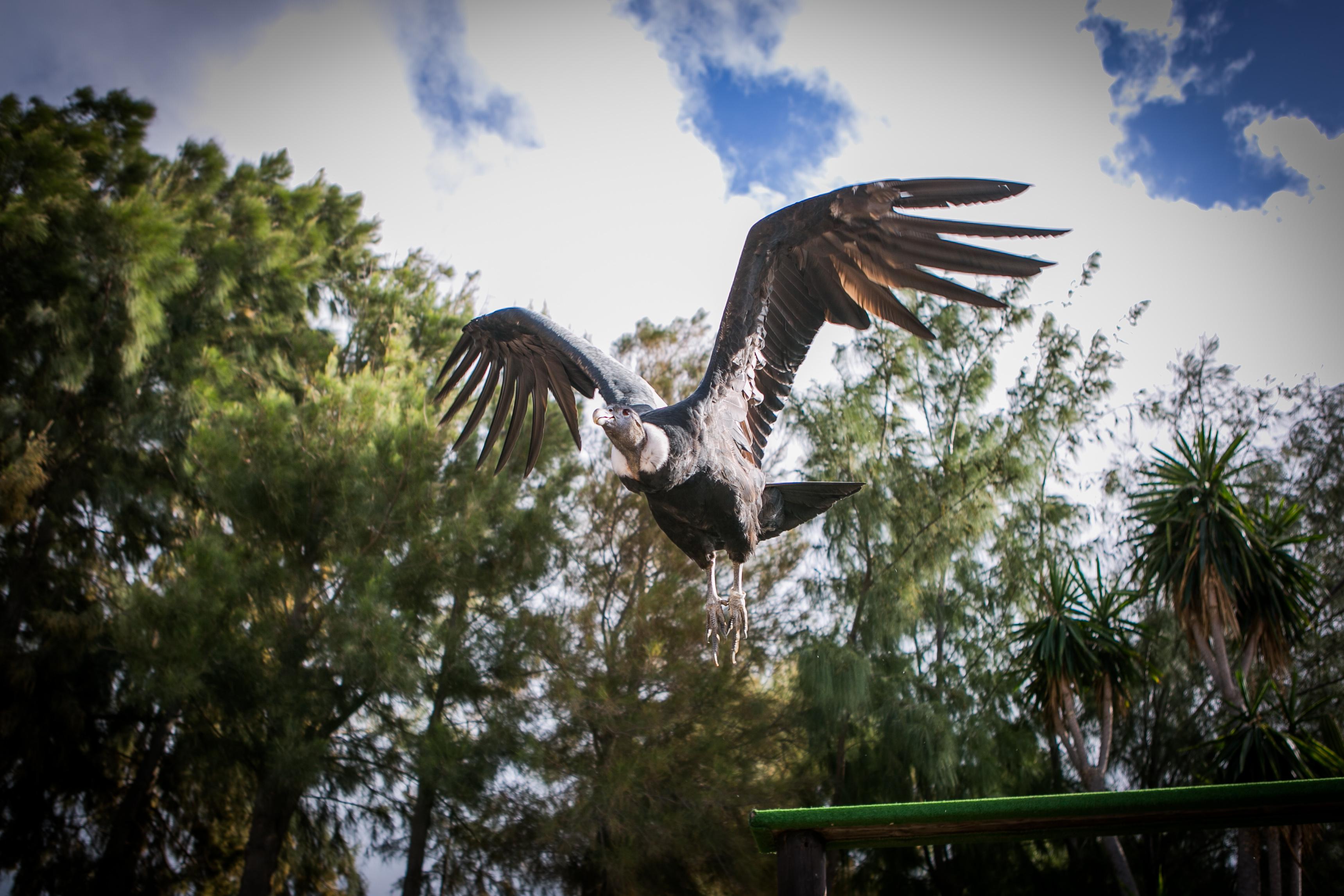 Condor (2)
