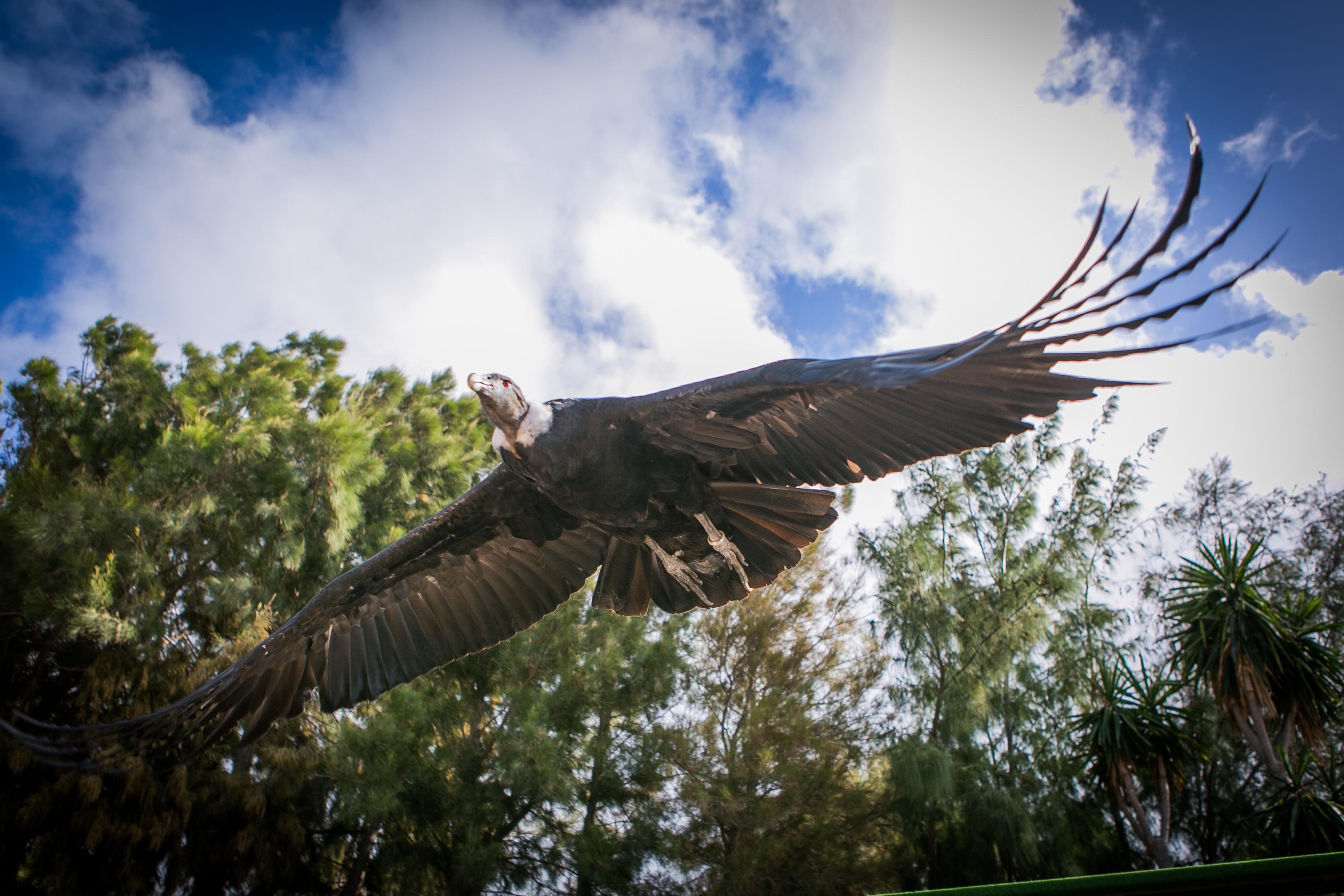 Condor (3)