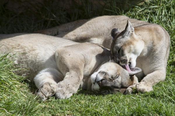 Cougar, Rancho Texas Lanzarote
