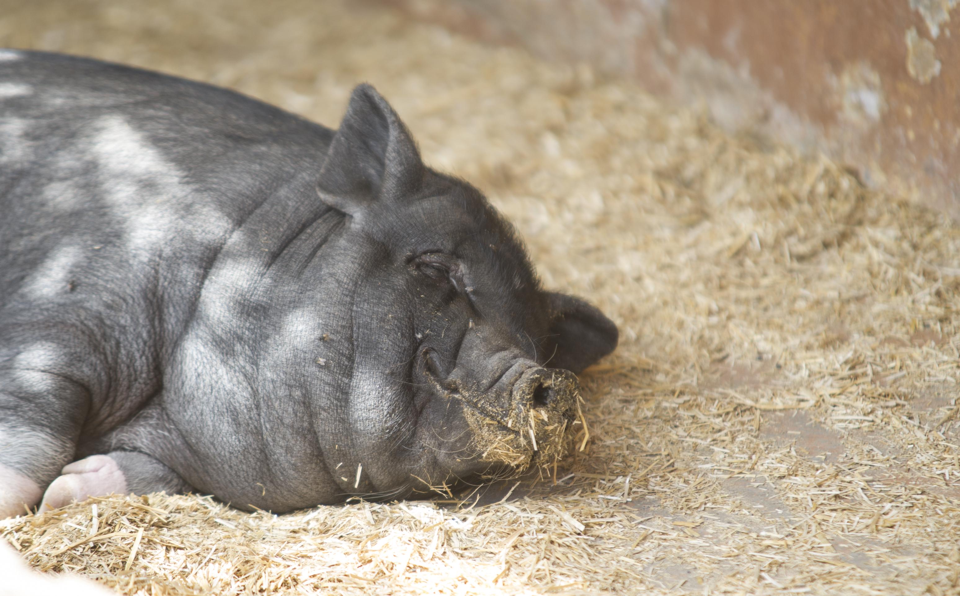 The pot bellied pig sus scrofa rancho texas lanzarote park