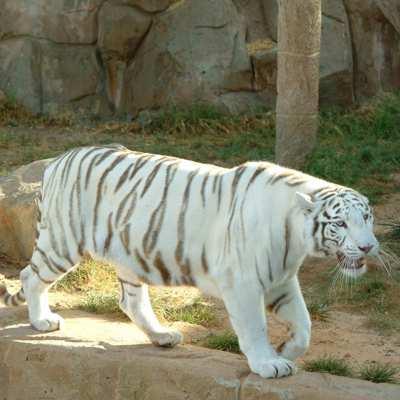 Tigra Blanco de Bengala