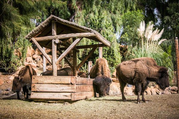 American Bison | Lanzarote Park