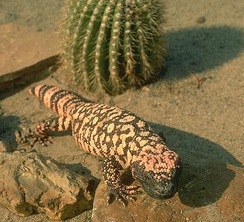 Monstruo de Gila, Rancho Texas, Lanzarote