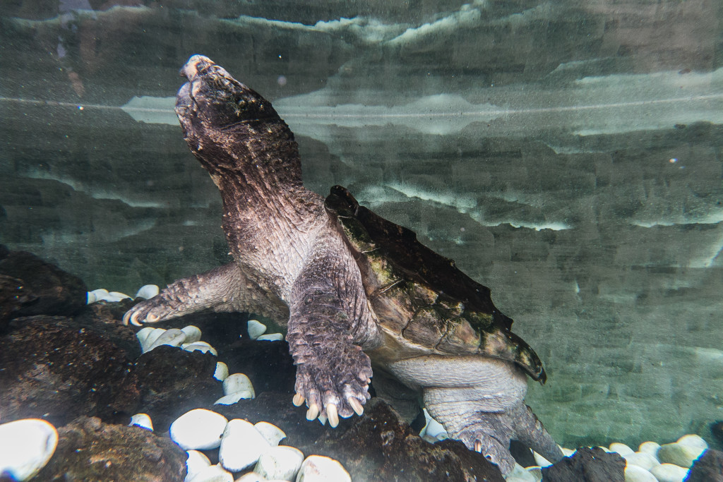 tortuga caiman (2)