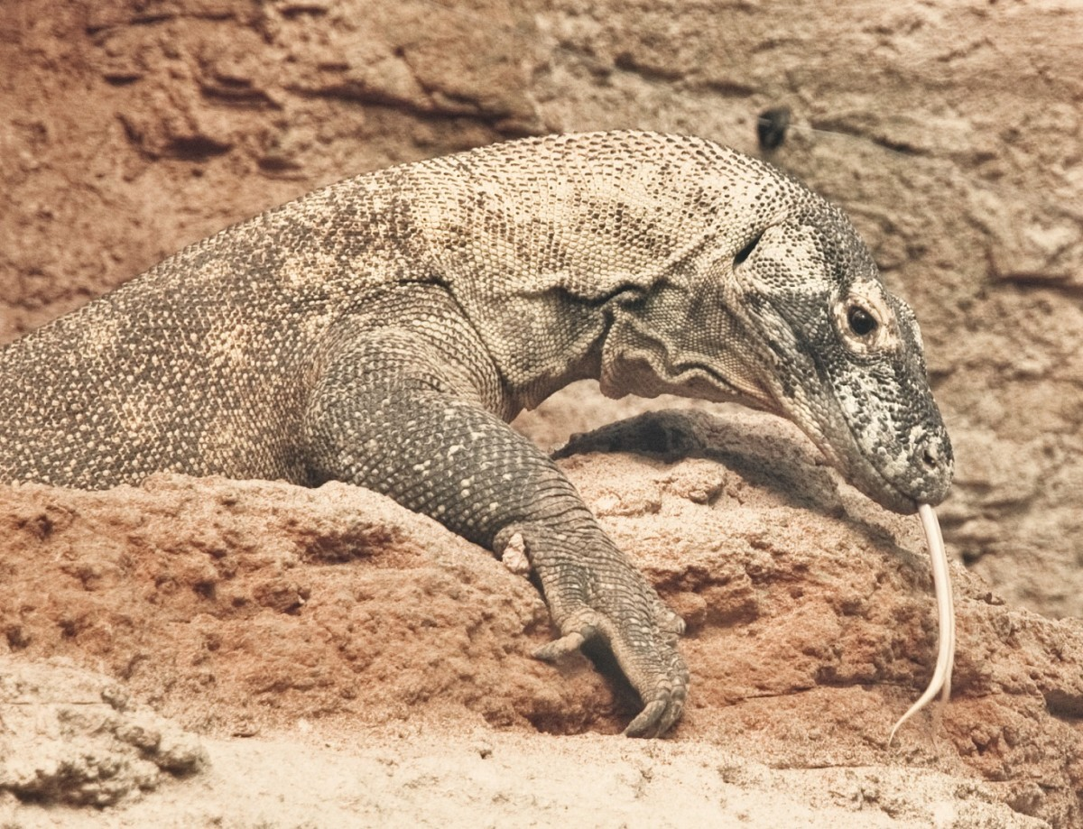 Dragon Komodo| Rancho Texas Lanzarote Park
