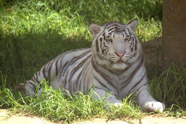 Tigre blanco - Rancho Texas - Lanzarote Park-min